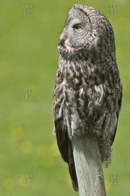 Great Grey Owl (Strix nebulosa), Water Valley, Alberta, Canada.