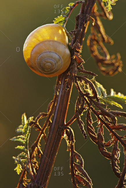 Snail on tansy, Fraser Foreshore Park, Burnaby, British Columbia, Canada