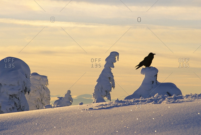 """Raven on snow covered tree """"ghost tree"""" Mount Seymour Provincial Park, North Vancouver, British Columbia, Canada"""