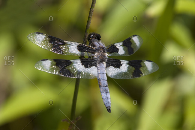 Eight Spotted Skimmer, Canada.