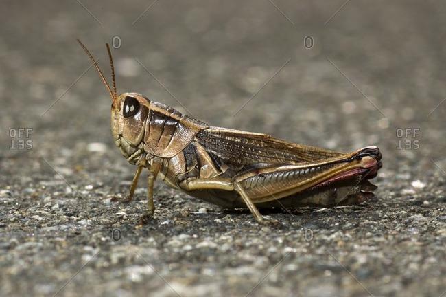 Grasshopper, Canada