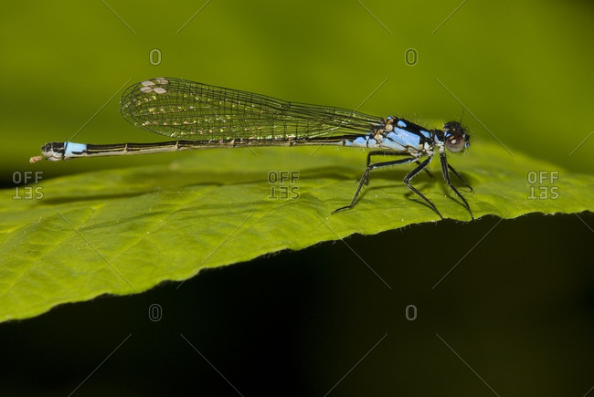 Pacific Forktail on leaf, Canada.