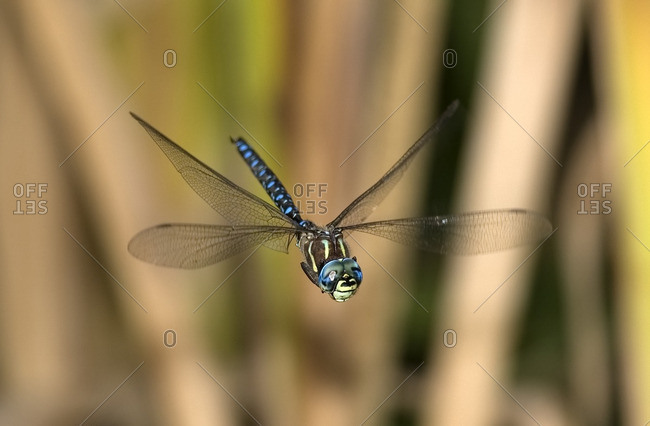Paddle Tailed Darner in marshland, Canada.