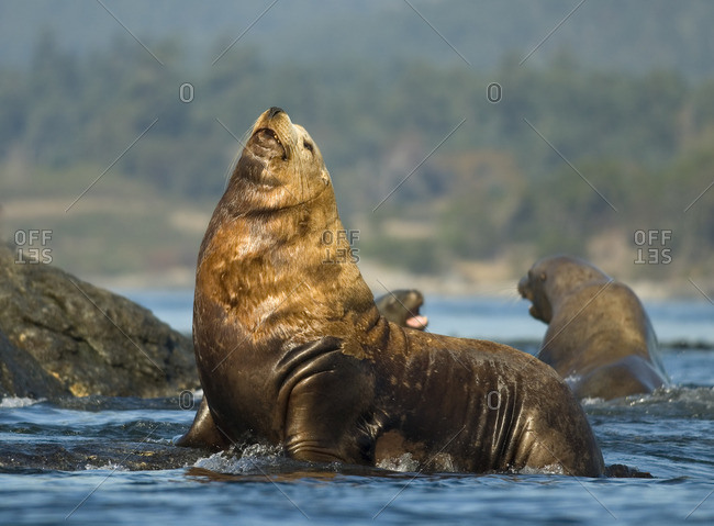 Steller sea lion, Eumetopias jubatu, Race Rocks, Canada