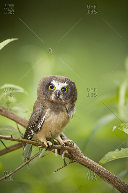 Northern Saw-whet Owl, perched on branch, Okanagan, British Columbia, Canada.