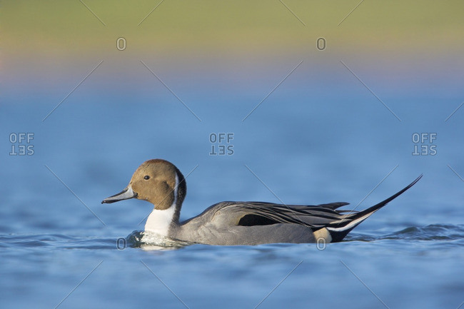 Male Northern Pintail, British Columbia, Canada.