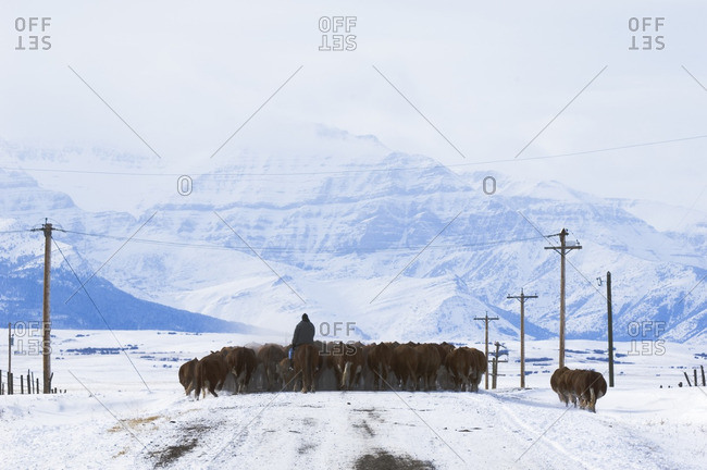 Cattle (Bos taurus) Drive. Driving herds along roads is a common way to move them from one field to another