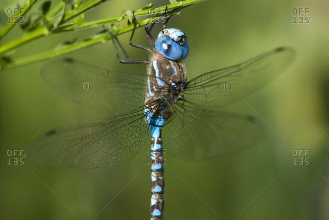 Blue-eyed Darner male, British Columbia, Canada.