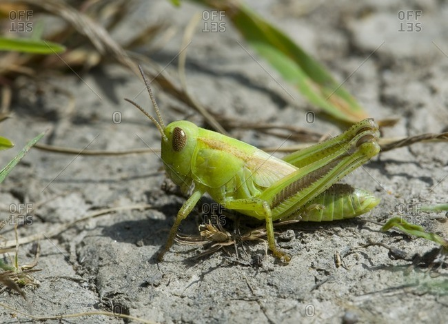 Grasshopper, British Columbia, Canada.
