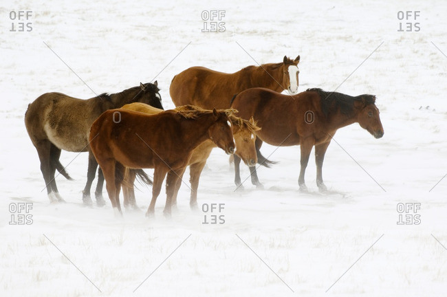 Horses (Equus caballus) wintering outside are fed by the rancher