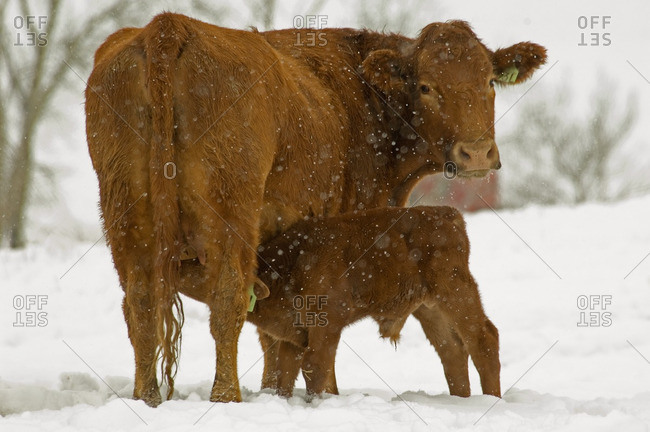Red Angus (Bos taurus) Female and male Calf