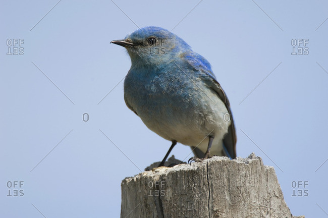 Mountain Bluebird (Sialia currucoides) Male. Fairly numerous but still threatened by competition for nest cavities