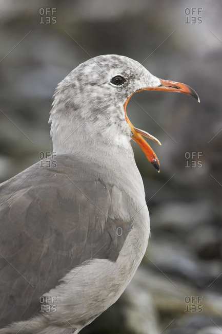 A Heermann's Gull (Larus heermanni) yawning near the shoreline in Victoria, British Columbia, Canada.