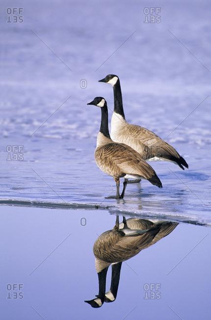 Mated pair of Canada geese (Branta canadensis)