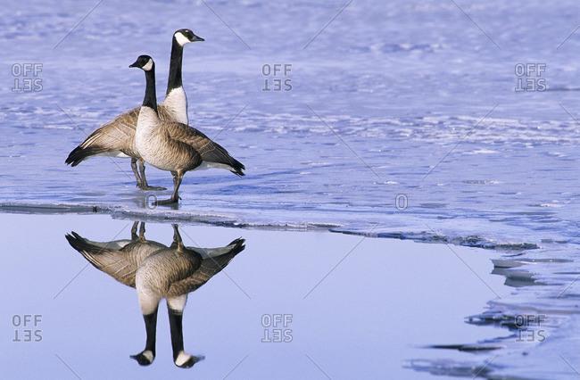 Mated pair of Canada geese (Branta canadensis), prairie grasslands, southern Alberta, Canada