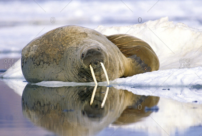 Two adult bull Atlantic walruses (Odobenus rosmarus rosmarus) loafing on pack ice