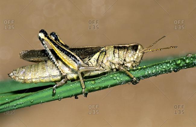 Dew-covered adult female two-striped grasshopper (Melanoplus bivittatus)