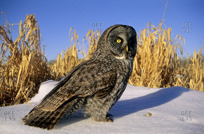 Adult great gray owl (Strix nebulosa) hunting in a winter roadside, northern Alberta, Canada.