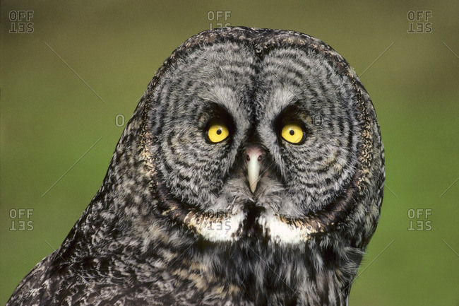 Adult female great gray owl (Strix nebulosa), Manitoba, Canada