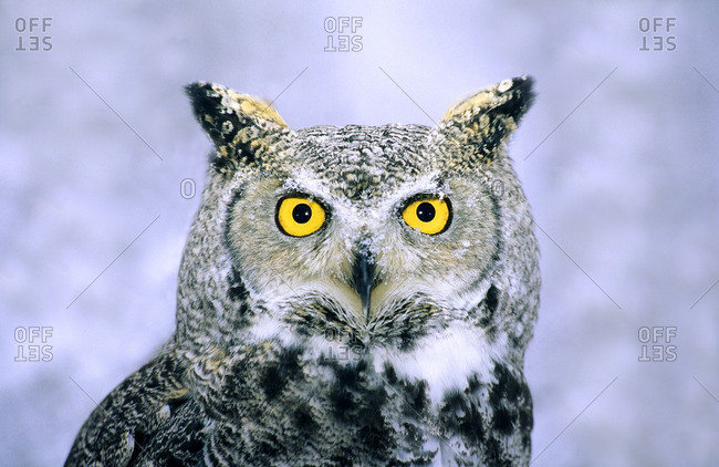 Great horned owl (Bubo virginianus).  Alberta, Canada.