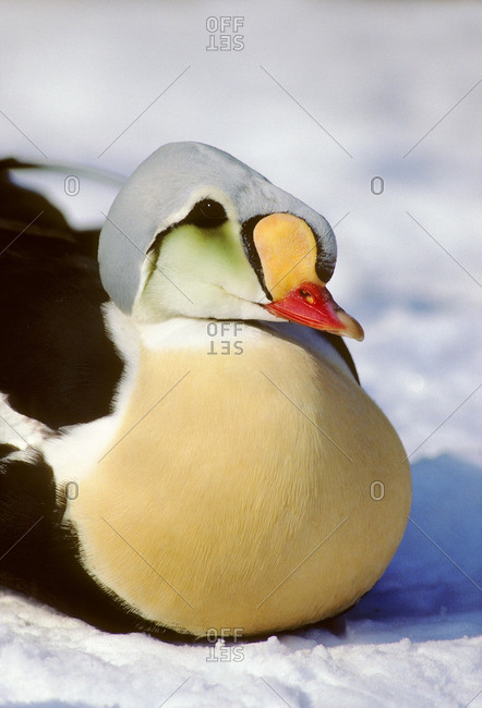 King Eider Duck, Somateria_spectabillis, Victoria_Island, Nunavut, Canada