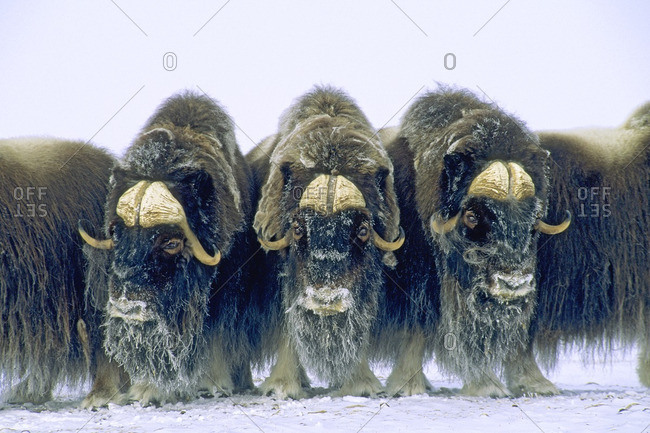 Bull muskoxen (Ovibos moschatus) in a defensive circle, Banks Island, Northwest Territories, Arctic Canada.