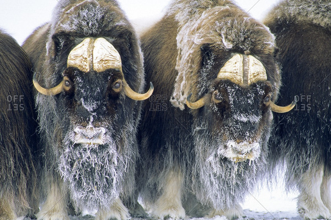 Adult bull muskoxen (Ovibos moschatus) 	in defensive posture.  Banks Island, Northwest Territories, Arctic Canada.