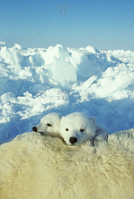 Three-month old polar bear cubs (Ursus maritimus) resting on their mothr, Arctic Canada.