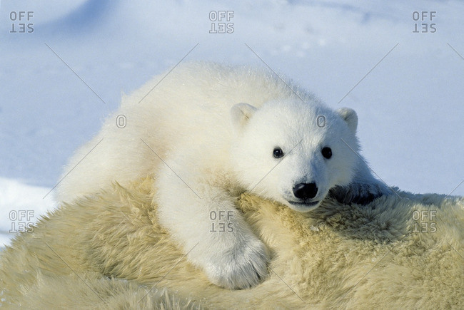 Three-month old polar bear cub (Ursus maritimus) riding on its mother's back, Arctic Canada.