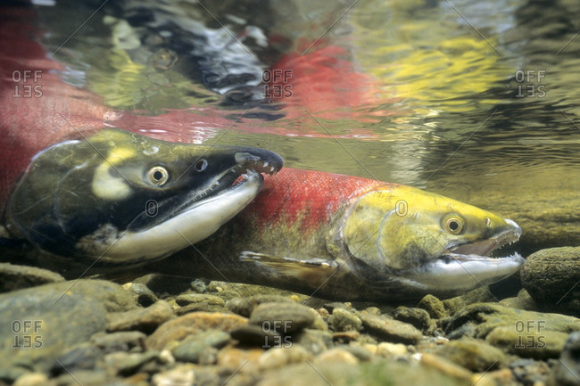 Sockeye salmon, Adams River, Shuswap, British Columbia, Canada