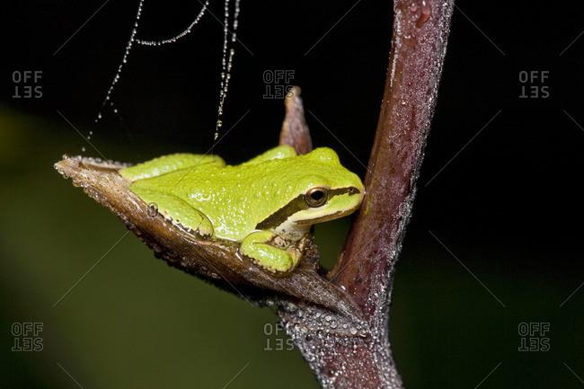 The Pacific Tree frog Hyla Regilla
