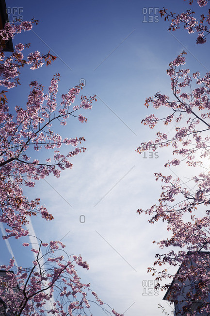 Blossoming branches against blue sky