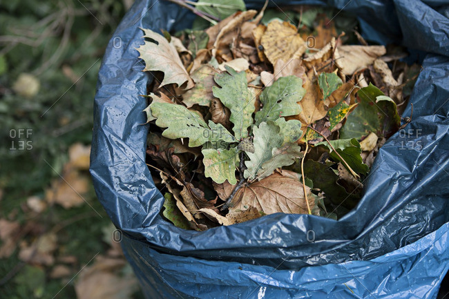 Fallen leaves gathered in a plastic bag