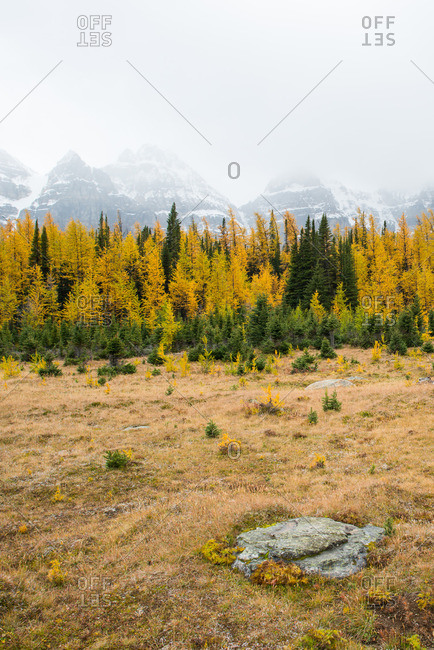 Yellow larch trees in a mountain valley during fall
