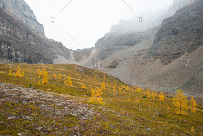 Mountain ridge looms over yellow larch trees growing sparsely in mountain valley during fall