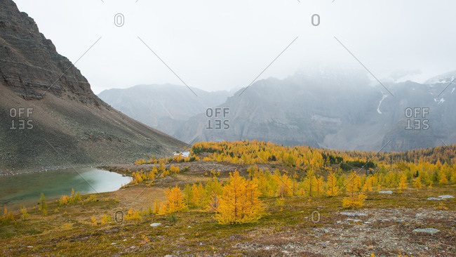Mountain lake surrounded by yellow larch trees in fall