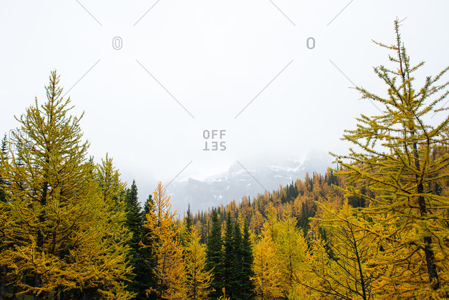 Bright yellow larch trees fill a mountain valley during fall under snow-covered peaks