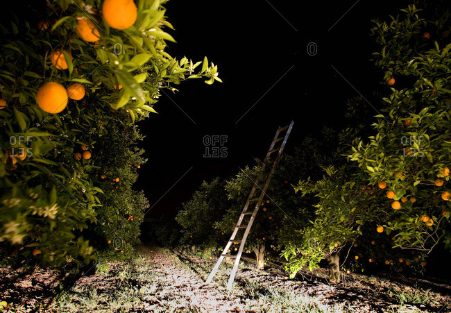 Orange grove with ladder, night time