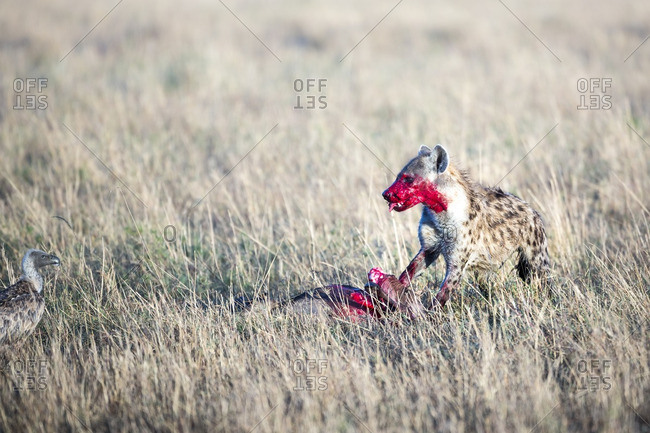 Hyena on a kill with bright red blood on its face