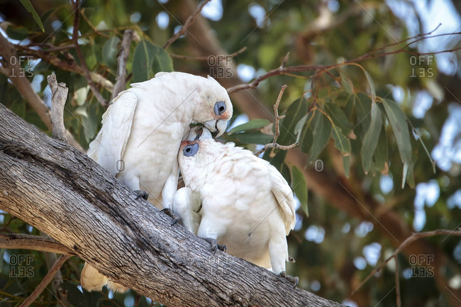 A pair of affectionate cockatoos preening on a branch