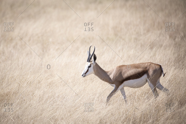 Thomson's Gazelle surrounded by soft dry brown grass in Etosha National Park, Africa