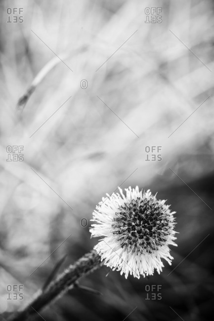 Black and white flower with abstract bokeh background