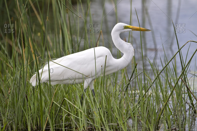 Large white egret standing in the reeds along a shoreline