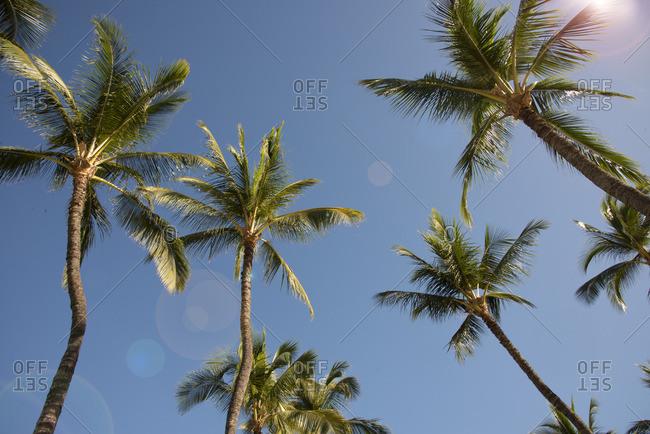 Palm trees on Maui, Hawaii