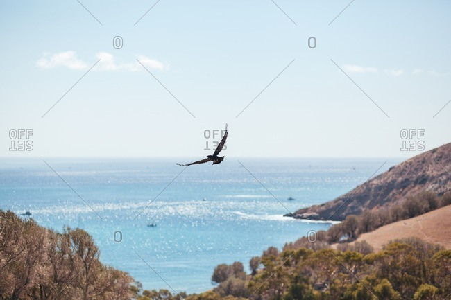 A Crow Flying Above with Island Cove in the Distance