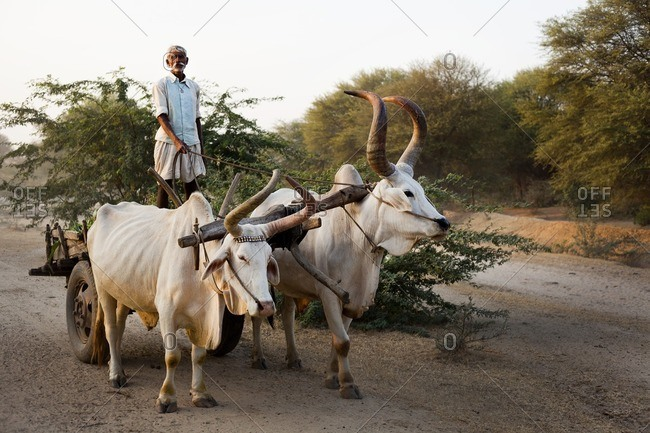 Bisalpur, Uttar Pradesh, India - March 12, 2015: Senior man on a bull-drawn cart, Bisalpur, Uttar Pradesh, India