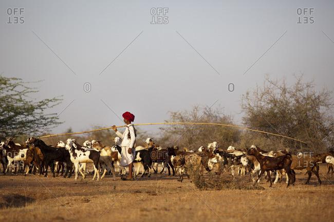 Jawai, Rajasthan, India - March 19, 2015: Rabari and his herd, Jawai, Rajasthan, India