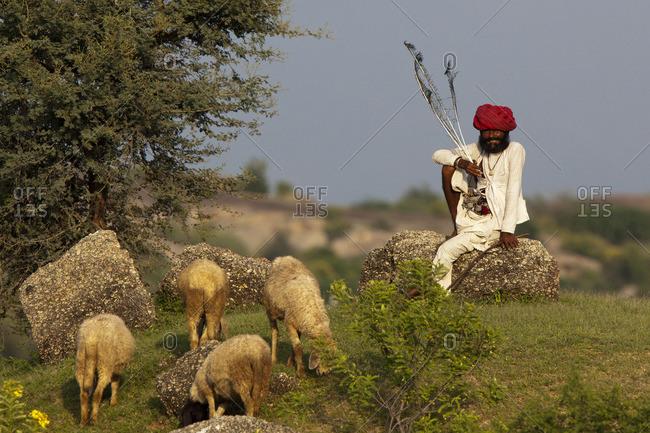 Jawai, Rajasthan, India - September 17, 2014: Rabari and his herd, Jawai, Rajasthan, India