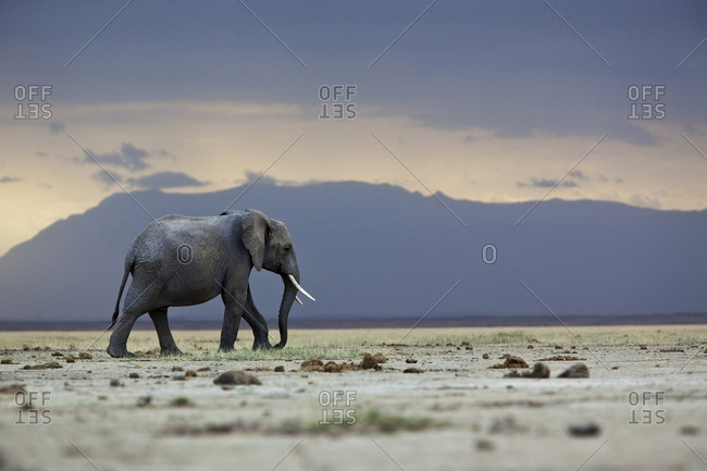 A lone elephant walking in the distance, Amboseli region, Kenya