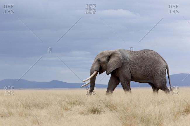 A lone elephant walking in the distance, Amboseli region, Kenya